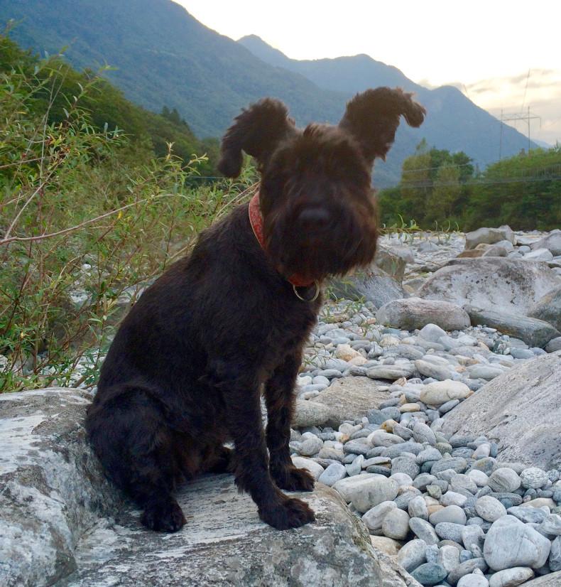 Der waschechte Hund Cube beim Ausflug in den Schweizer Alpen.